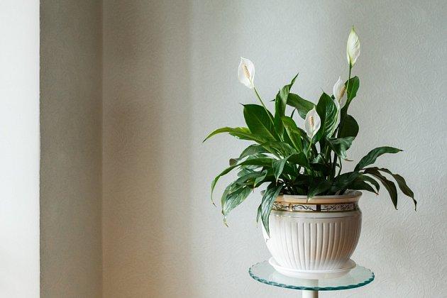 Lopatkovec je jemná a elegantní rostlina
