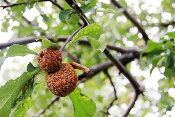 Abychom zamezili šíření moniliózy musíme mumifikované plody odstranit.