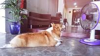 Klidně zapněte psovi větrák, musí-li zůstat ve vyhřátém bytě.