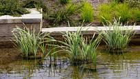 Puškvorci se dobře daří v mělké vodě.