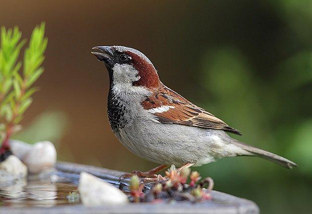 vrabec domácí (Passe domesticus)