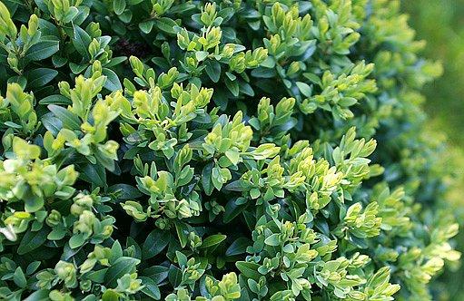 zimostráz vždyzelený (Buxus sempervirens)