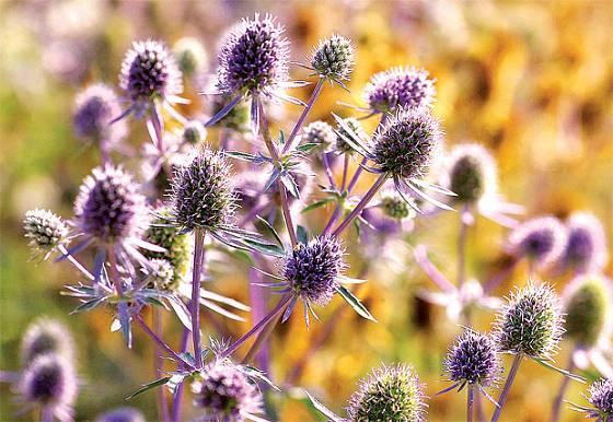 Bohatě kvetoucí Eryngium x tripartitum se do sytého modrofialového odstínu vybarví jen na slunci