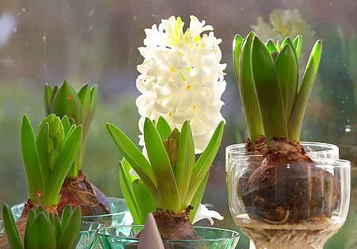 Hyacinty lze pěstovat i hydroponicky