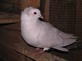 Mezi nejkrásnější barevné rázy montaubánců patří bílí holubi