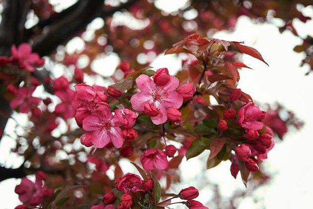 jabloň nachová, Malus x purpurea