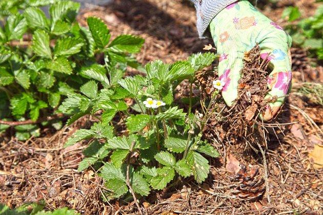 Jehličnatá hrabanka a jehličí je mulč, který zároveň snižuje pH půdy
