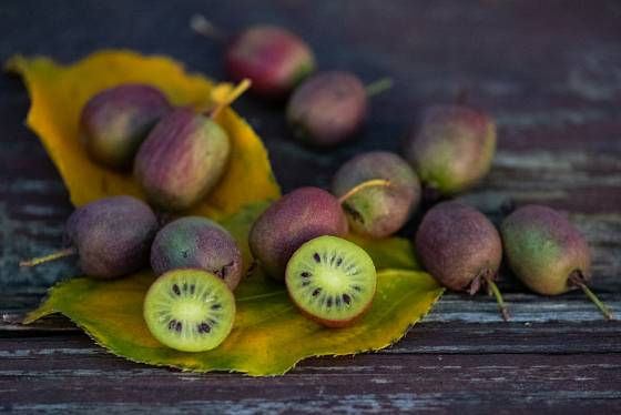 Aktinidie význačná (Actinidia  arguta) - některé kultivary mají plody s purpurově červenou slupkou.