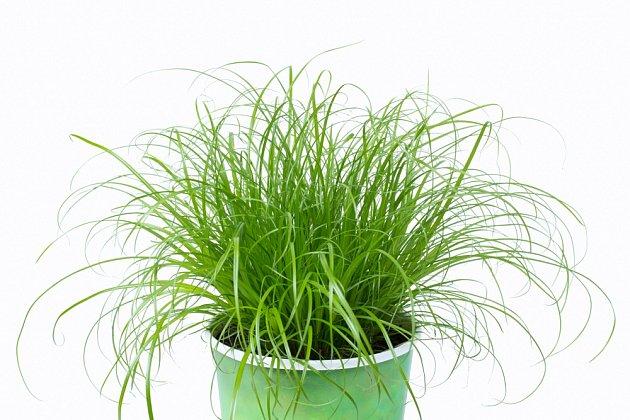 Zvláštní druh papyru známý jako kočičí tráva (Cyperus zumula).