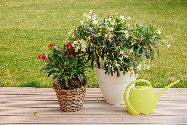 Na podzim je potřeba oleandry v našich podmínkách zazimovat.