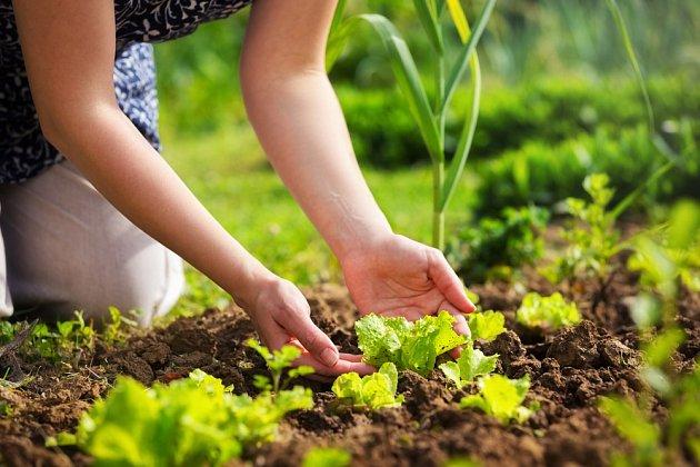 Saláty můžete pěstovat od jara do podzimu
