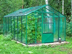 Salátové okurky rostou ve skleníku velmi bujně