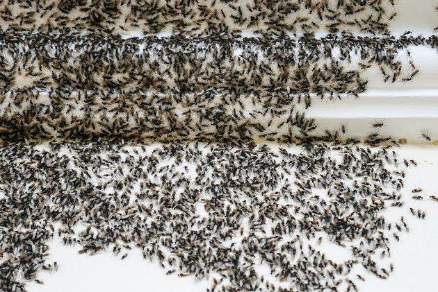 Mravenčí invazi nebo rojení doma skutečně nechceme