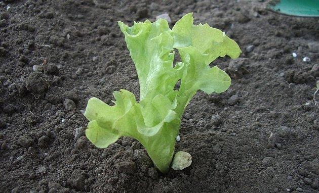 Správně vysazení sazenice salátu