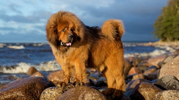 Tibetská doga, jedno z nejdražších plemen psů na světě.