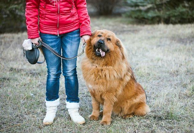 Tibetská doga (tibetský mastiff) je psí plemeno staré více než 4000 let.