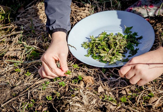 Mladé lístky bršlice do salátů a smoothie můžeme sbírat již časně zjara