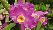 Dendrobium nobile, hybrid
