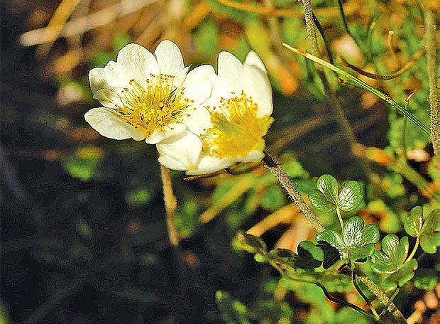 Chrpa a dryadka rostou na vápenitých půdách