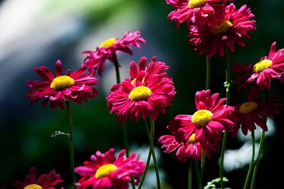 Okrasné kultivary kopretiny řimbaby hýří barvami