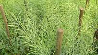 Křehké zelí vyžaduje vyvázání