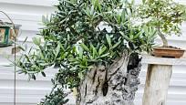 Olivovník pěstovaný jako bonsaj.