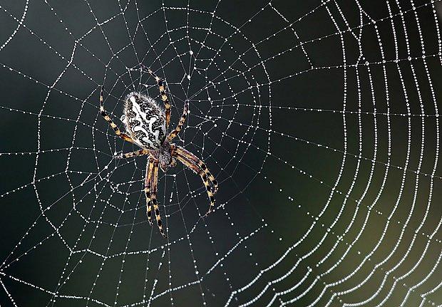 Pavučina sloužící k lovu hmyzu je výtvor hodný obdivu