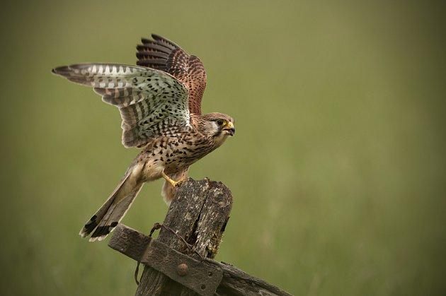poštolka obecná (Falco tinnunculus)