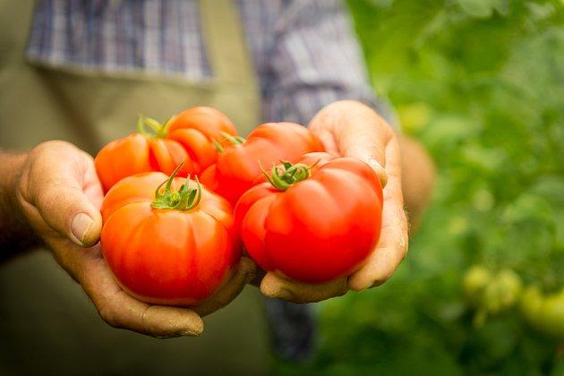 Sklizeň rajčat vrcholí