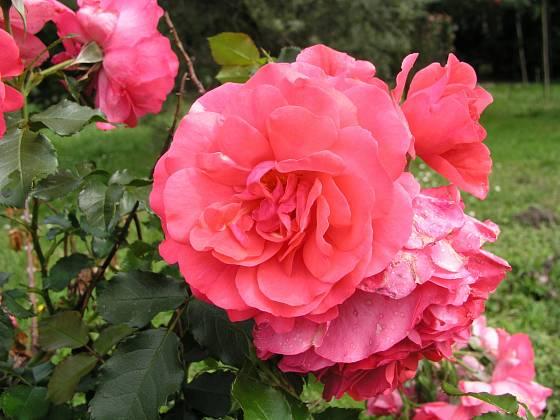 Rosarium Uetersen (Kordes, Německo, 1977). Růžově červený květ je asi 9 cm velký, výška růže 3 m. Opakovaně kvetoucí