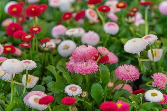 Šlechtěné sedmikrásky můžete pěstovat v různých odstínech od bílé po červenou