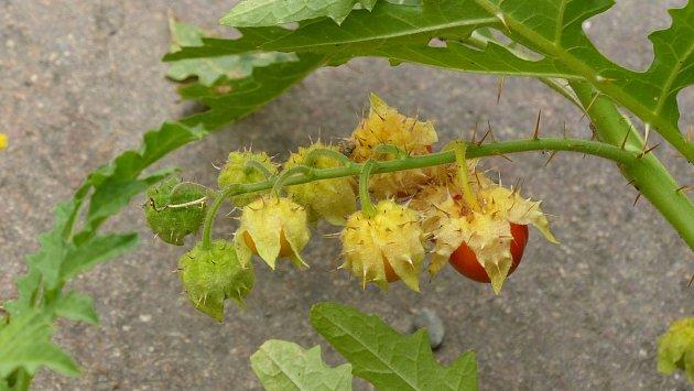 Liči rajčátka tvoří trnité keřovité porosty s červenými plody.