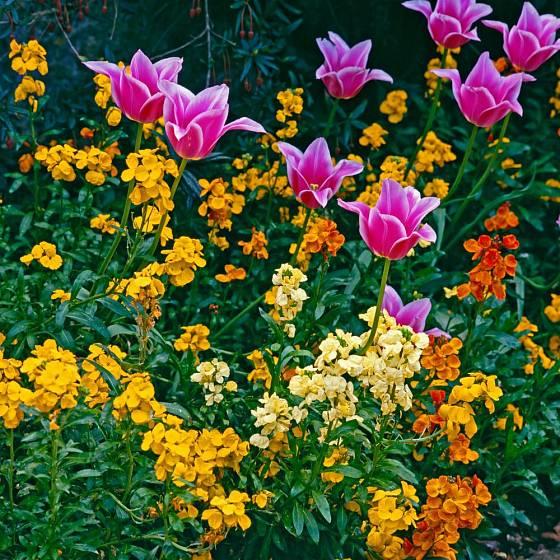 Chejr vonný neboli zimní fiala jako krásný a voňavý partner tulipánů