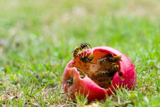 Vosy milují dozrávající ovoce a dokáží jej vážně poškodit.