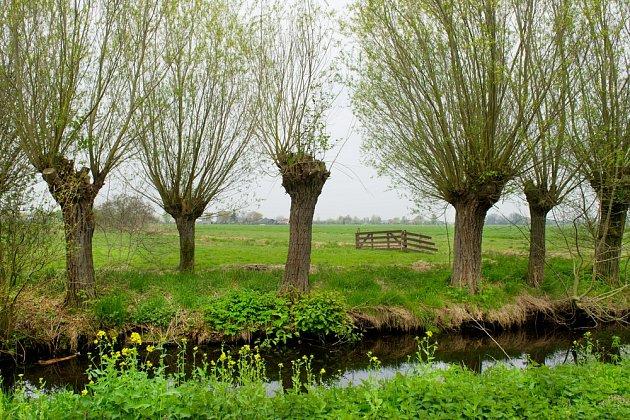 Vrba košíkářská (Salix viminalis) se hodí na pletení pomlázek nejlépe.