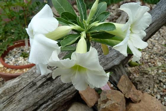 Pouštní růže (Adenium) - bílé květy.