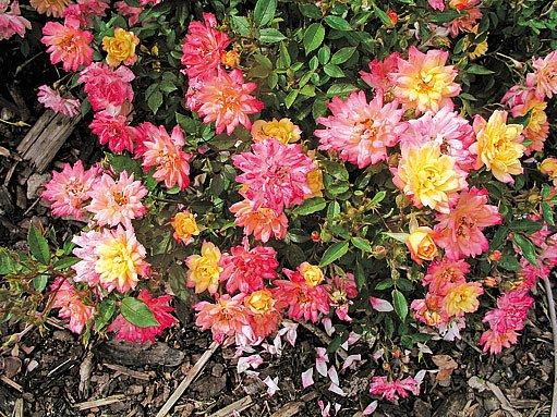 Miniaturní ´Baby Masquerade´ mění barvu během kvetení
