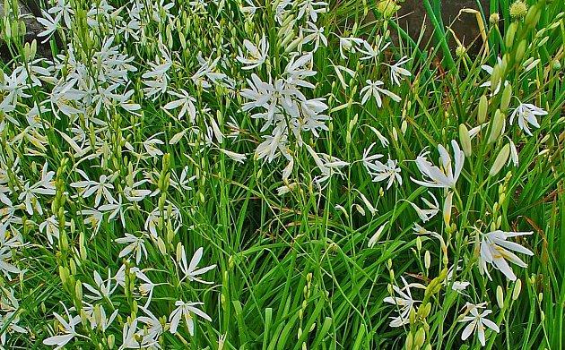 Bělozářka liliovitá (Anthericum liliago)