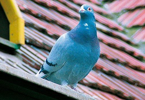 jeden z holubích svěřenců