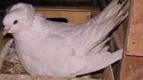 Montaubánci se vzorně starají o vajíčka i mláďata