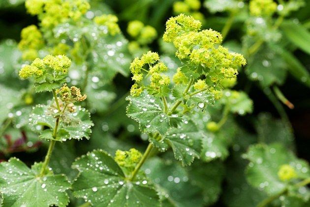 Kontryhel měkký (Alchemilla mollis) se pěstuje jako okrasná rostlina.