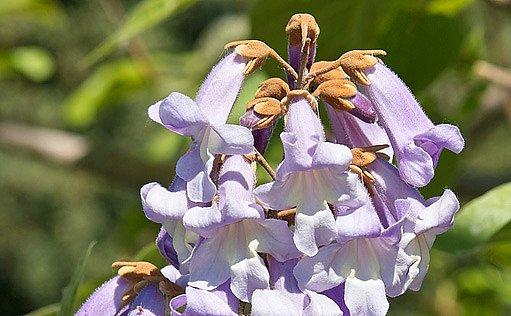 květy paulovnie plstnaté