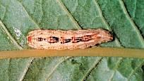 larva pestřenky rybízové