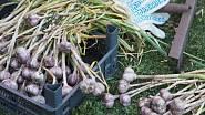 Česnek je možné sušit i s natí, je to dokonce prospěšné, neboť z nati ještě při sušení přecházejí do paličky prospěšné látky.