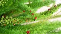 Asparágus hustokvětý (Asparagus densiflorus)