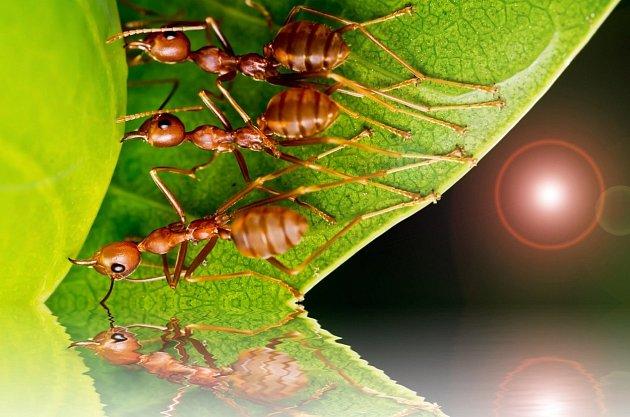 Mravenci občas napadají naše domácnosti i zahradu