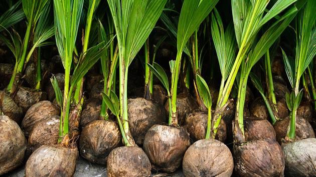 Výsledek obrázku pro pěstování v kokosu