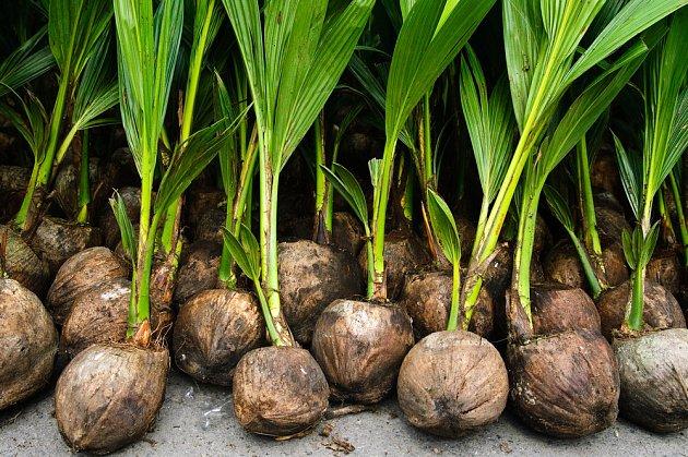 Mladé kokosové semenáče