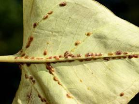 Puklice se obvykle začínají objevovat na spodní straně listů.