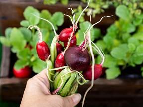 Ředkvičky můžete pěstovat i na okenním parapetu.